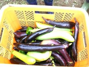 収穫した夏野菜