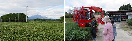お茶畑の見学