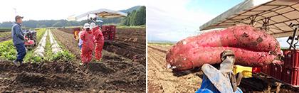 さつま芋収穫体験