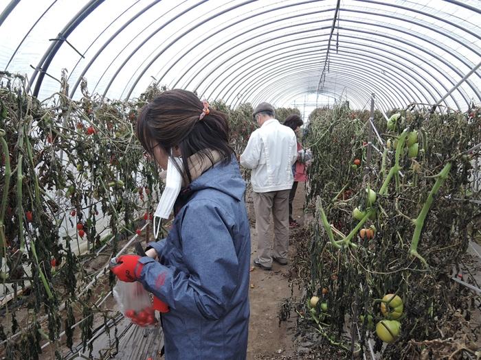トマト収穫_R